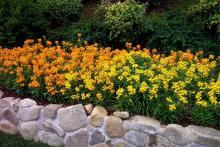 Plant Citrona Orange and Yellow in large masses for spectacular cool-season displays.