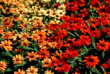 The Profusion Fire and Profusion Apricot zinnia varieties bloom from spring until frost. Profusion Fire astounds viewers with its scarlet and orange blooms. The Profusion Apricot is light coral with a rich terracotta center.