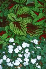 The Kong coleus combines well in the shade garden with white Impatiens. It is excellent in baskets, especially when grown in combination with a vining or cascading plant.