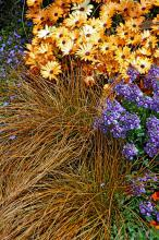 Toffee Twist carex, commonly called copper sedge, adds an interesting color and texture to full- and part-sun gardens. It partners well with yellow and blue flowers.