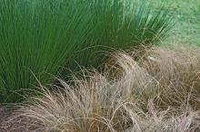 The brown, twisted appearance of Toffee Twist carex provides an unusual contrast with the green, upright stems of the Quartz Creek juncus, a variety of soft rush.