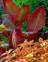 The vibrant, orange-green-yellow variegated Tropicanna canna attracts attention to this arrangement, which includes the equally colorful Rustic Orange coleus.