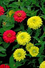 Zesty series of zinnias produce huge dahlia-shaped blossoms on a great landscape plant. They come in a multitude of colors, such as these reds and yellows, and have been very good performers in our Mississippi State University trials at Crystal Springs.
