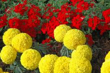 Moonstruck is a new exciting marigold series with large and round flowers. They are available in orange and yellow varieties.
