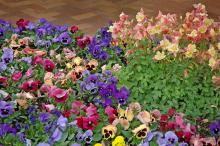 The Coastal Sunrise pansy mix is in the Matrix series, which arrived on the commercial scene in 2005. They load up with large flowers in rich colors that include shades of blue, rose, peach and creamy yellow.