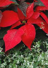 A red poinsettia placed in a container with the white-flowered Diamond Frost gives the impression of the red poinsettia sitting on a bed of new-fallen snow.