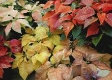 The new, colorful painted poinsettias come in shades guaranteed to perfectly fit your home's color scheme.