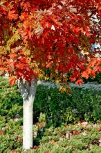 After a summer of medium to dark green color, Autumn Blaze red maple leaves turn fiery orange in the fall.