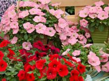 Potunia petunias offer a mounding habit and scores of flowers, such as these pink and red varieties. They rank at the top of the list in university flower trials.