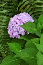 Endless Summer hydrangea blooms on old wood as well as new growth, which means a longer bloom season. Flower color on most big-leaved hydrangea varieties depends on soil acidity. The lilac color of this blossom reveals that this plant is growing in soil in the low to middle range of acidity. Lower pH levels produce blue blossoms, and higher levels produce pink to red blossoms.