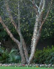 Use differing textures to keep winter landscapes beautiful. (above) Here the multiple trunks of a river birch partner well with the huge, palmate leaves of a dwarf palmetto palm. With few flowers blooming, our landscape's main interest at this time of year comes from differing textures. (Photos by Norman Winter)