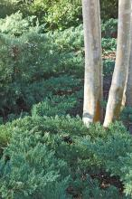 Shrub junipers provide tremendous landscape options from low-growing, creeping groundcovers to foundation plantings. These junipers frame the picturesque bark of a large crape myrtle. (Photos by Norman Winter)