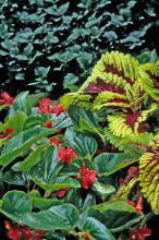 The Kong Red coleus and the lush, exotic-looking Dragon Wing Red begonia are a winning combination as the bright, lime-green margins of the Kong coleus light up the shade garden.
