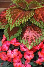 The hints of orange and a rusty burgundy in the large leaves of Kong Salmon Pink coleus partner well with the large, light-orange flowers of Paradise Malita New Guinea impatiens. (Photos by Norman Winter)