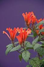 The fiery orange and yellow flowers of Scooter Flame scutellaria will prove to be a delight to visiting hummingbirds. (Photos by Norman Winter)