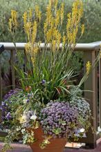 Tall, yellow Kangaroo Paw flowers serve as the perfect thriller, or eye-catching plant, in this large mixed container.