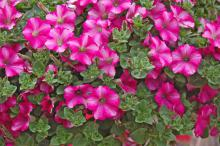 Supertunia Raspberry Blast is an attractive, deep hot pink with a dark cerise star accent at the throat of each blossom. (Photos by Norman Winter)
