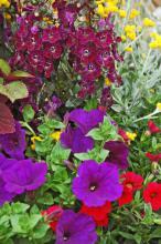 Supertunia Royal Velvet, Flambe chryusocephalum, AngelFace dark violet Angelonia, and Superbells scarlett calibrachoa form a flashy, complimentary color scheme.