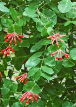 The native coral honeysuckle is a fiery red to orange with yellow on the inside. The trumpet-shaped blossoms are a treat to ruby-throated hummingbirds and butterflies, and the flowers give way to fruit relished by birds such as the cardinal and purple finch. (Photo by Norman Winter)