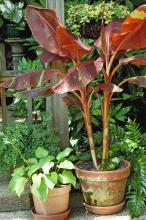 Siam Ruby makes a superb container plant and always grabs attention in the landscape. (Photo by Norman Winter)