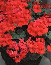 Caliente Orange is a hot new geranium that can withstand the heat of Mississippi's summers. (Photo by Norman Winter)