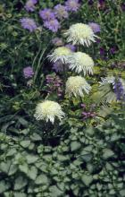 The Harlequin Blue scabiosa and Beacon Silver lamium, which has showy variegated silver leaves with green margins and light purple flowers, are excellent partners for the Ice Star Shasta daisy.