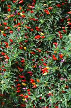 The Garda Tricolore pepper resembles smaller Christmas lights. It produces scores of peppers that start purple then change to cream, orange and red. (Photos by Norman Winter)