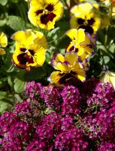 Clear Crystal sweet alyssum is partnered with a Lemon Fizzleberry pansy for a jolt of color.