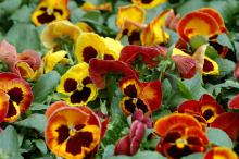 The new Mammoth series of pansy is an extremely large-flowered variety. On Fire truly gives this illusion with its fiery yellow, orange and red blooms.