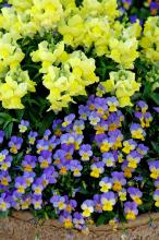 Rebelina blue and yellow viola partners with Floral Showers yellow snapdragon for a cool-season mixed container that is sure to please.