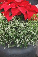 Diamond Frost euphorbia is the perfect complement to poinsettias of any color, as the cheerful bracts of the poinsettia sit atop hundreds of tiny white flowers resembling snow. (Photos by Norman Winter)