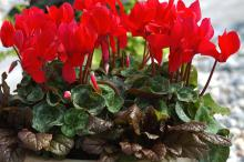 Ajuga can be a good companion for cyclamen. Avoid highly variegated forms that could clash. Instead, look for the chocolate-colored leaf selections that provide just the right amount of pizzazz.