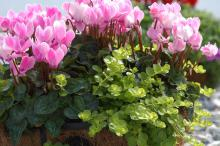 A showy partnership can be created using Goldilocks lysimachia combined with any color of cyclamen flower. The real contrast comes from the lime green foliage of Goldilocks that tumbles outward from the container.