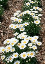 Daisy May is a small Shasta daisy that is a great candidate for the front of perennial borders. Their size also makes them fantastic thriller plants in containers. (Photo by Gary Bachman)