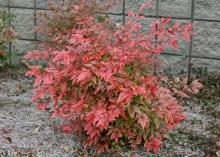 Firepower is a great dwarf Nandina. Its green foliage transforms to red for the cooler months, with the intensity of the color depending on how much sunlight it gets. (Photos by Gary Bachman)