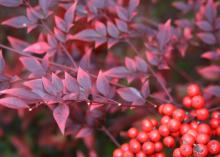 Nandina is a great shrub for providing fall color and berries. The cooler the temperature, the more colorful the plant becomes. Leaves change from bright, glossy green in the summer to a fiery array of reds and burgundies in winter.