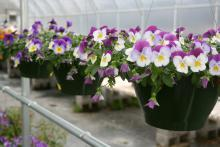 The unique growth habit of Plentifall pansies makes them outstanding landscape plants. This Plentifall Purple Wing has bright white lower petals with purple splotches and cheery purple-violet upper petals.