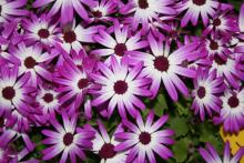 Use Pericallis Senetti, such as this magenta bicolor selection, as you would use mums in the fall. They look great alone in a container or even better as part of a combination container. (Photos by Gary Bachman)