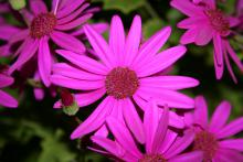 Pericallis Senetti, such as this one in almost iridescent magenta, are gorgeous, flowering plants that love early spring's cool temperatures.