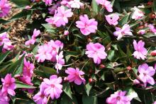 Compact lilac Sunpatiens are great in flowering combination containers. These outstanding, tight-branching plants require little pruning.