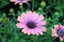Petals of pastel lavender with copper-orange tips and a bright purple-blue speckled center with yellow stamens make the Zion copper amethyst (bottom) one of the most striking African daisy selections. (Photos by Gary Bachman)
