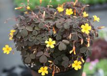 The flowers may be dainty, but the yellow blossoms shine brightly with the dark purple/black foliage background of this Zinfandel shamrock.