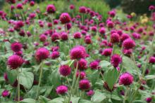 Gomphrena can be big, flowering annuals. All-Around Purple gomphrena is a 2-foot-tall plant that attracts loads of butterflies all summer long. (Photo by Gary Bachman)