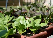 A container is a great way to grow fresh produce in a small space. These mini bok choy are thriving in window boxes. (Photos by Gary Bachman)
