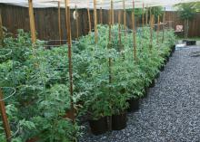 Container gardening isn't just for flowers . Many vegetables can be grown in containers, such as these tomatoes in 3-gallon nursery containers.