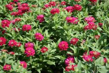 The exciting double-flower Double Cherry Zahara zinnias have deep magenta blooms with a center that lightens as the flowers mature.
