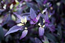 Most ornamental pepper flowers are white and inconspicuous, but the Purple Flash's flowers are purple and add landscape interest.