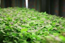 Growing microgreens indoors requires only a small container and a light source. These Red Choi are growing in bedding plant trays. (Photos by MSU Extension Service/Gary Bachman)