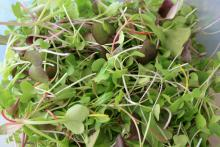 This colorful microgreen mix contains radish, cabbage and bok choi, all of which can easily be grown indoors during winter months.
