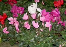 Cyclamen come in a variety of colors, including red, pink, white and lavender. The nodding flowers are held on straight stems high above the foliage. (Photo by MSU Extension Service/Gary Bachman)